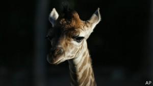 140209054744_giraffe_marius_304x171_ap